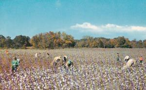 Tennessee Memphis Typical Cotton Picking Scene