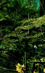 Hawaii Tree Fern Forest Line The Scenic Road Around Kilauea Crater