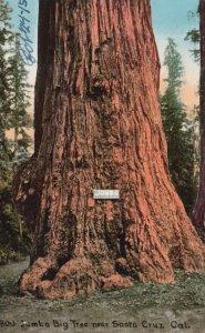 SANTA CRUZ , California, 1900-10s; JUMBO Big Redwood Tree