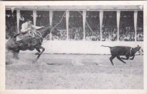 Calf Roping At Iowa's Championship Rodeo August 1941 Sidney Iowa
