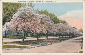 Rochester NY, New York - Magnolias in Bloom on Oxford Street - WB