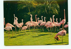 Buy Postcard Pink Flamingos San Diego Zoo CA