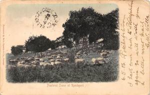 South Africa Pastoral Scene at Roodeport, sheep flock 1906