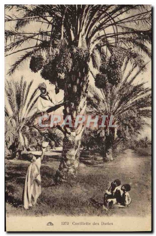 Old Postcard Palm dates Palm Tree Picking