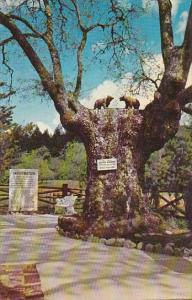 The Bear Tree San Francisco California