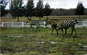 Orlando FL - Grant's Zebras from East Africa at Gatorland Zoo 1950s