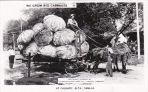 Canada Alberta Calgary Farmer With Large Cabbage Exageration Real Photo