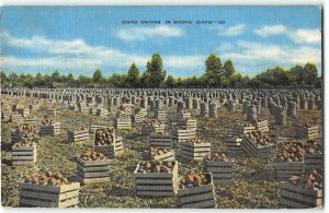 Crates of Onions in a an Idaho Farm Field - 1940s Linen Agricultural Postcard