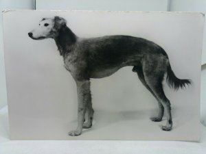 Vintage Postcard Early Import Saluki Dog Luman Imported from Egypt c1897