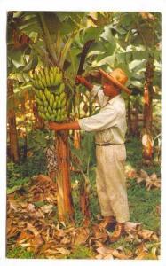 Martinique, 40-60s : Le Bananier et son regime