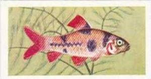 Mitchum Foods Vintage Trade Card Aquarium Fish 1957 2nd Series No 43 Clown Barb
