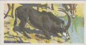 Brooke Bond Tea Vintage Trade Card African Wildlife 1962 No 37 Sable Antelope