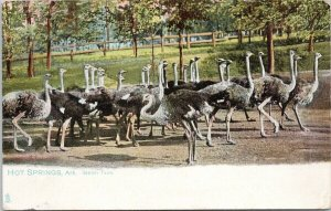 Hot Springs Arkansas AK Ostrich Farm c1907 TUCK Postcard F34