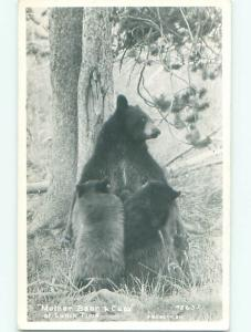 rppc Pre-1950 MOTHER BEAR WITH CUBS AC8066