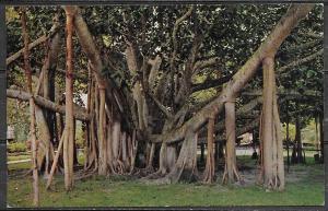 Hawaii, Honolulu, Indian Banyan Tree, unused