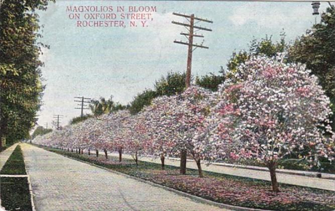 New York Rochester Magnolias In Bloom On Oxford Street 1908