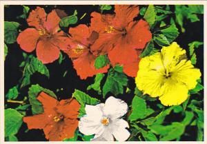 Florida Flowers Hibiscus in Bloom