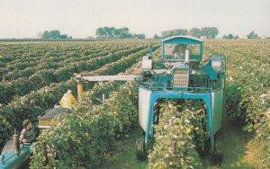 Grape Harvester , 1950-60s