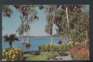 America Postcard - Cypress Trees, Cyprus Gardens, Florida   RS19690