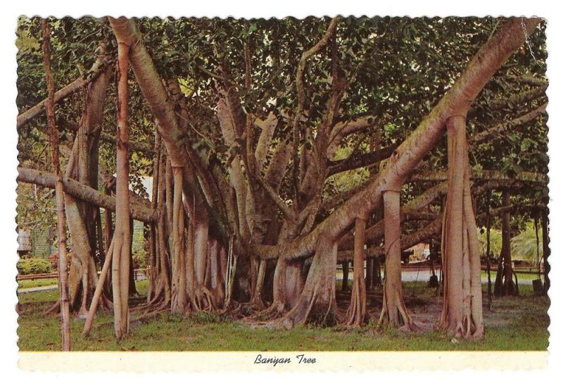 Hawaii Banyan Oldest Tree Maui Lahaina Vintage Postcard 4X6