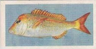 United Tobacco South Africa Vintage Trade Card African Fish 1937 No 25 Scotsman