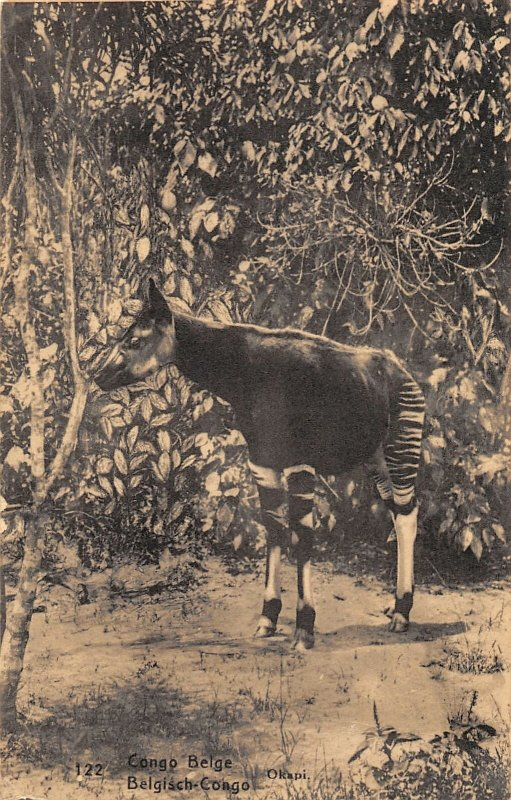 G58/ Africa Foreign Postcard French Congo Okapi Animal 8
