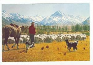 Sheep herder, Glentanner Station, New Zealand 60-70s