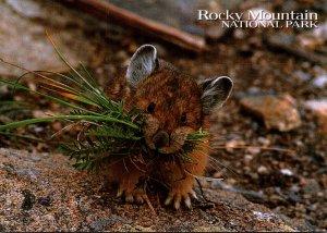 Pika Rocky Mountain National Park Colorado