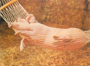 Hammock sleeping beauty pig by David Lowe postcard