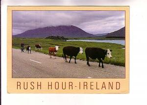 Cows,  Man on Bicycle, Rush Hour Ireland, Photo Peter O'Toole