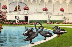 Florida Sarasota Ringling Art Museum Black Swans