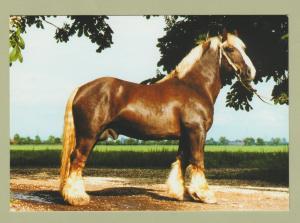Schleswiger Kalthlut Hengst Big Draft Horse Zollner Post Card