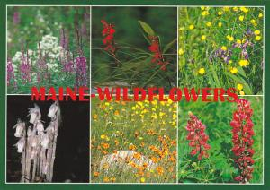 Maine Wildflowers