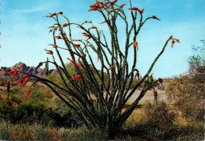 Arizona Ocotillo Cactus