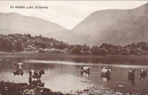 Cattle, On Middle Lake, Killarney, Ireland, 1900-1910s