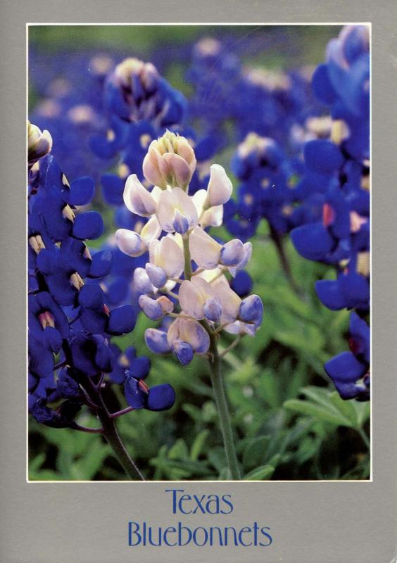 TX - Texas Bluebonnets
