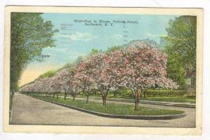 Magnolias in Bloom Oxford Street, Rochester, New York, 1929 PU