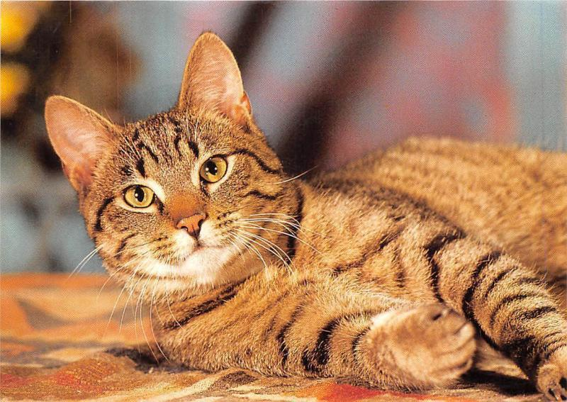 Domestic Tabby Orange Bengal Cat Chat Katze Hippostcard
