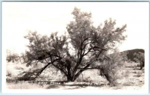 RPPC near INDIO, California CA ~ GIANT SMOKE TREE  Frasher ca 1930s  Postcard