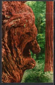Old Man Burl,Redwood Tree
