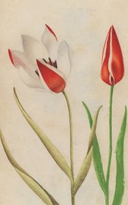 Lady Tulip Tulipa Clusiana Flower Italian 1800s Painting Postcard