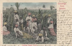 JAMAICA , 1906 ; Cutting Sugar Cane