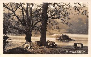 Springtime Lakeland Sheeps Rydal Water