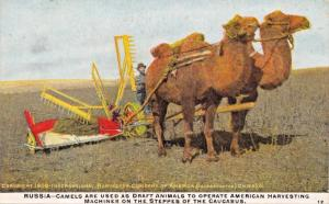 INTERNATIONAL HARVESTER~RUSSIA-CAMELS USED AS DRAFT ANIMALS-AGRICULTURE POSTCARD
