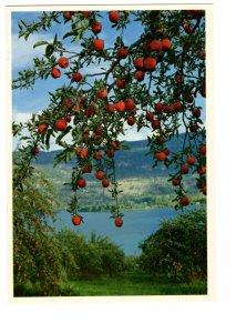 Delicious Apple Tree, Okanagan Valley, British Columbia