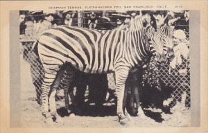 California San Francisco Chapman Zebras Fleishhacker Zoo