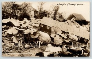 RPPC Cows Wonder & Wander After Exaggerated Power Pumpkins Tilt Cattle Barn~1910
