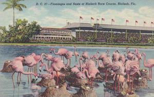 Florida Hialeah Flamingos And Nests At Hialeah Race Course