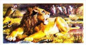 Brooke Bond Trade Card Asian Wildlife No 10 Indian Lion