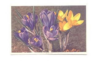 Spring Crocus #687 Swiss Flower Series,